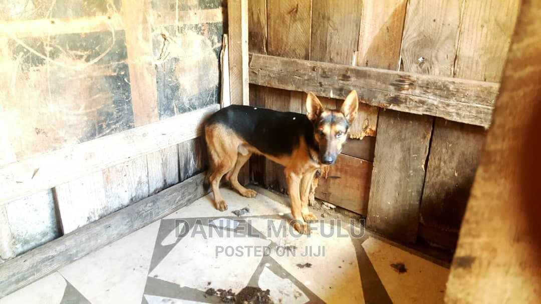 3-6 Month Male Mixed Breed German Shepherd