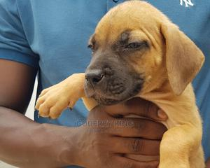 1-3 Month Female Purebred Boerboel | Dogs & Puppies for sale in Dar es Salaam, Kinondoni