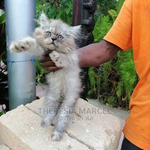 1-3 Month Male Purebred Persian | Cats & Kittens for sale in Dar es Salaam, Kinondoni