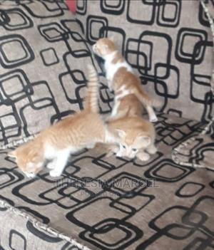 1-3 Month Male Mixed Breed Cat | Cats & Kittens for sale in Dar es Salaam, Kinondoni