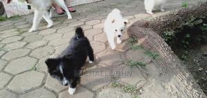 1-3 Month Male Purebred Japanese Spitz | Dogs & Puppies for sale in Arusha Region, Arumeru