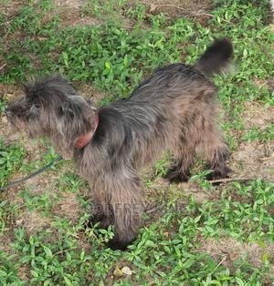 3-6 Month Female Purebred Maltese | Dogs & Puppies for sale in Dar es Salaam, Kinondoni