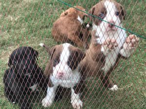 1-3 Month Female Purebred American Pit Bull Terrier | Dogs & Puppies for sale in Dar es Salaam, Kinondoni