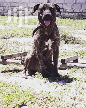 Adult Male Mixed Breed American Pit Bull Terrier
