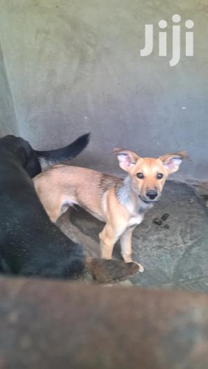 Baby Male Mixed Breed German Shepherd