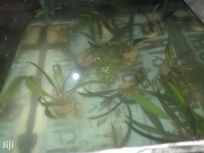 Mimea Au Mauwa Ya Kwenyemaji. Aquaticplants
