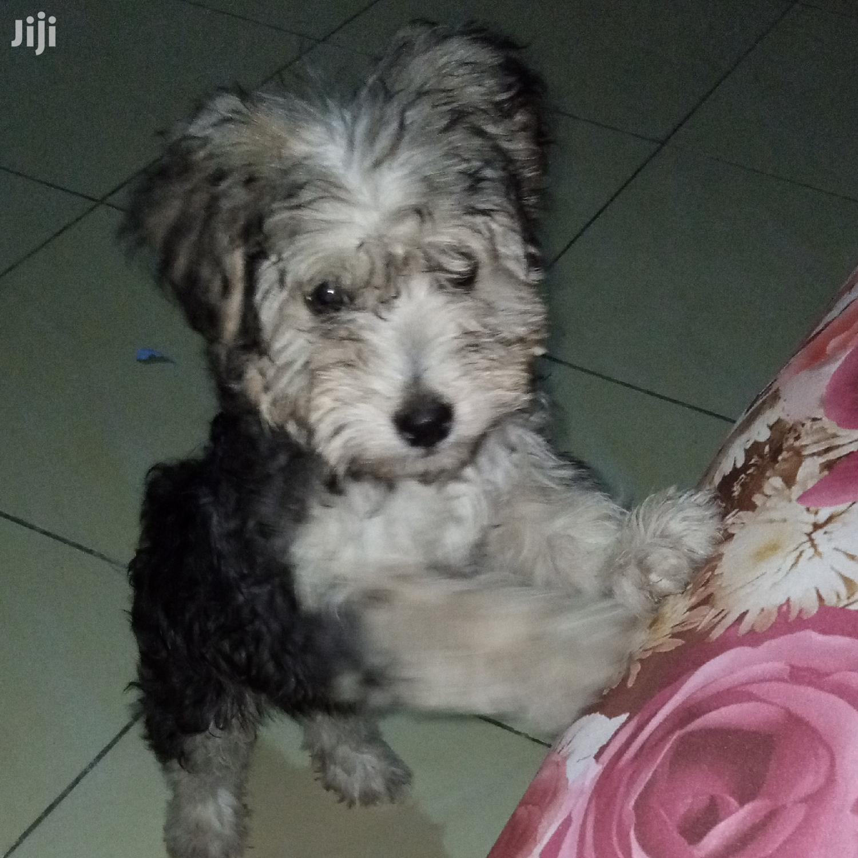 Archive: Baby Male Purebred Maltese in Kinondoni - Dogs ...