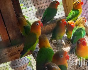 LOVEBIRDS Available | Birds for sale in Dar es Salaam, Temeke