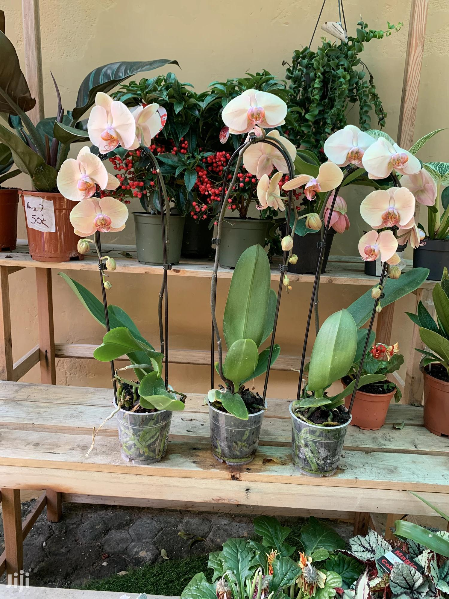 Archive: Orchid Flower Plant