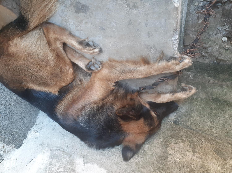 3-6 Month Male Purebred German Shepherd | Dogs & Puppies for sale in Temeke, Dar es Salaam, Tanzania