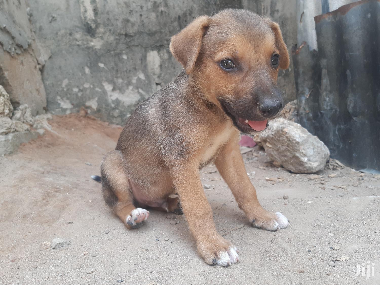 1-3 Month Male Mixed Breed German Shepherd | Dogs & Puppies for sale in Temeke, Dar es Salaam, Tanzania