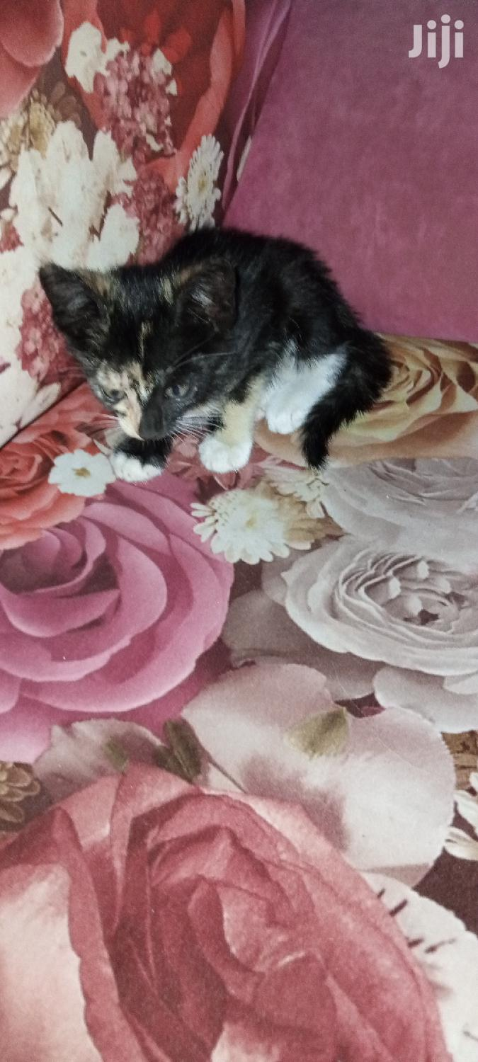 Archive: 1-3 Month Female Purebred American Shorthair