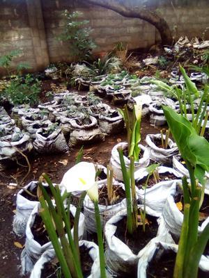 Water Lilies | Garden for sale in Arusha Region, Arusha