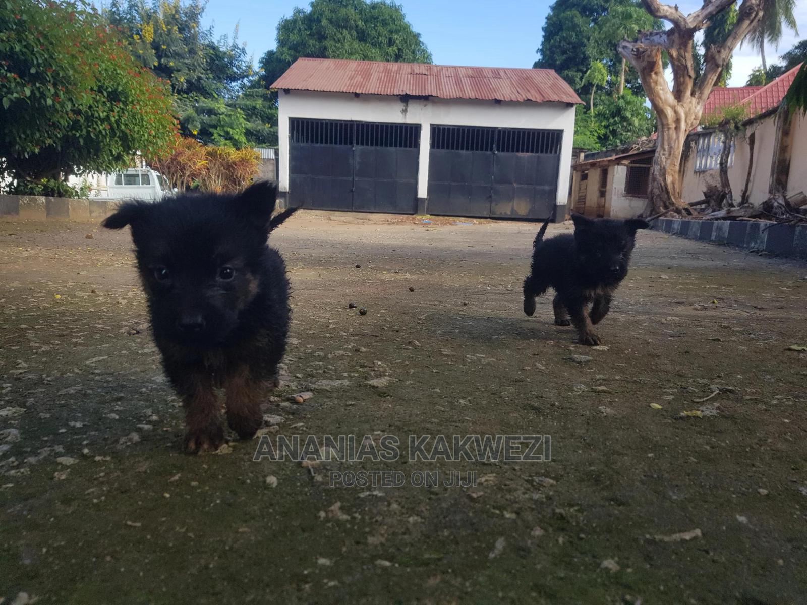 1-3 Month Male Mixed Breed German Shepherd | Dogs & Puppies for sale in Ilala, Dar es Salaam, Tanzania
